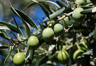 Pozitivne ocene letošnje oljčne letine