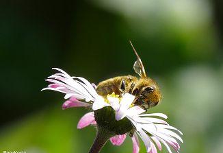 Vsi lahko pomagamo pri ohranjanju čebel