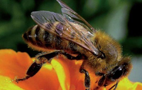 Slovenski čebelarji ob tretjino čebeljih družin